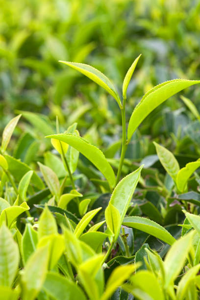 Fresh leaves of green tea close up stock photo
