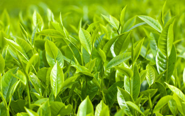 Fresh leaves of green tea stock photo