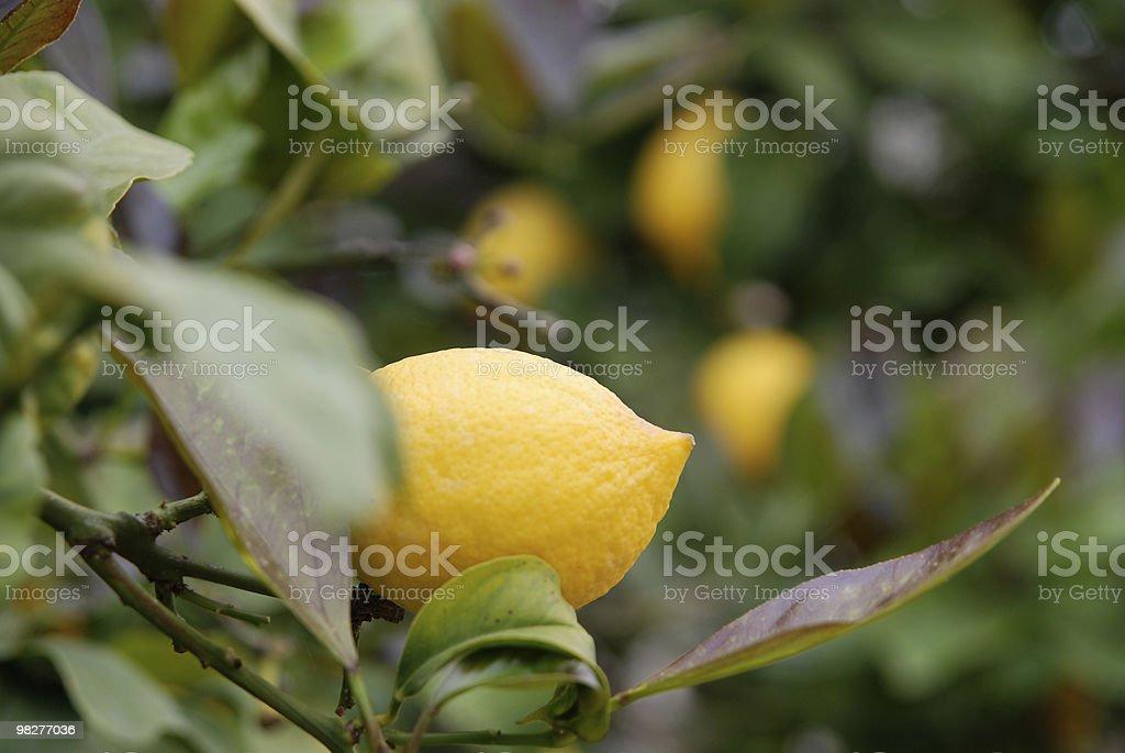 fresh lemon on tree royalty-free stock photo