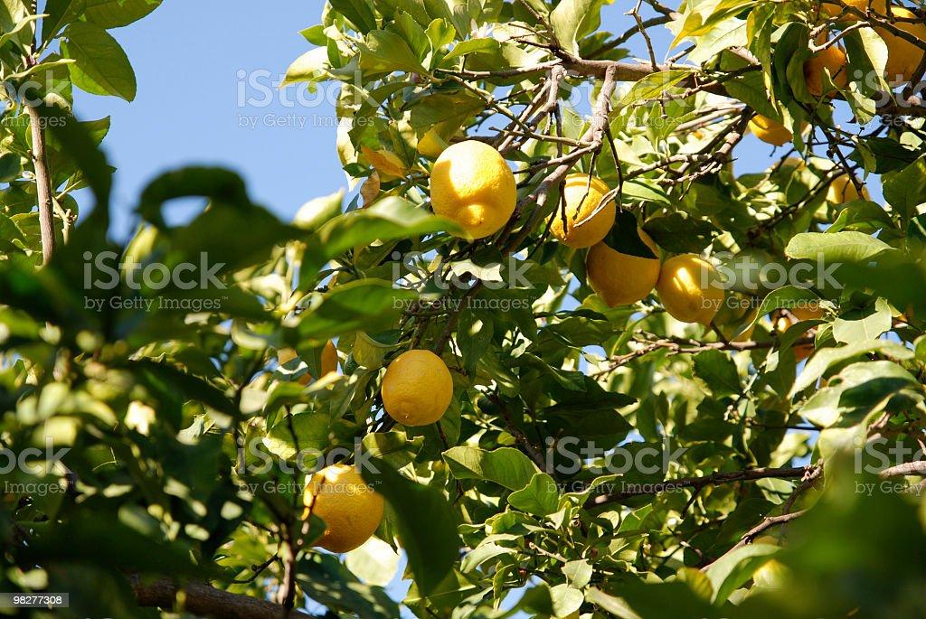 fresh lemons against blue sky royalty-free stock photo