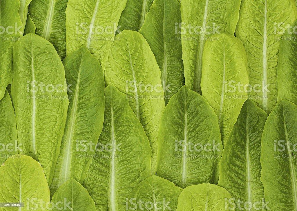 Fresh Lettice Leafs stock photo