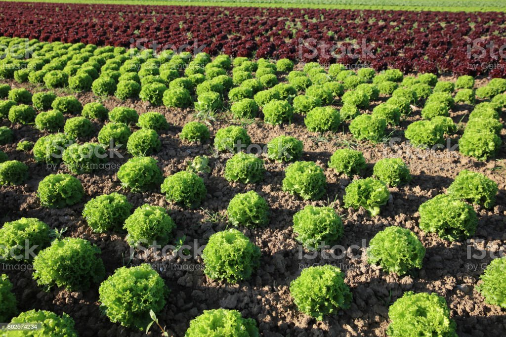 Fresh Lettuce on the Field in Germany stock photo