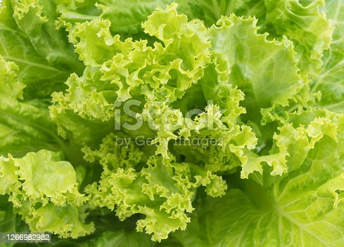 Fresh Lettuce  in
