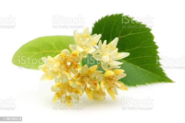 Fresh linden flowers and leaves isolated on white picture id1138160318?b=1&k=6&m=1138160318&s=612x612&h=oylimmtyev8qnpz9dzgnmulextu phor9nkmbfjj4xc=