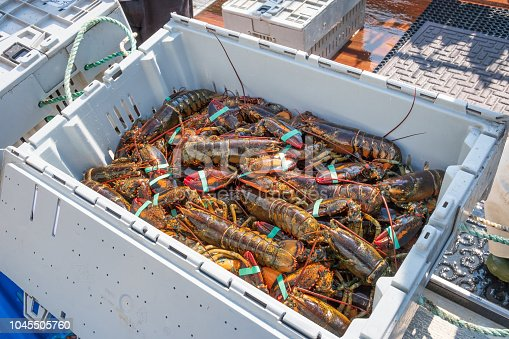 Fresh lobsters in storage bins recently harvested and delivered to the dock