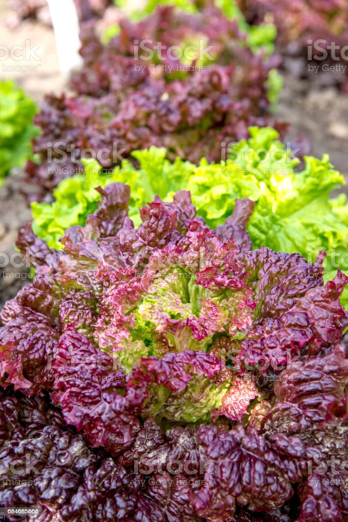 Fresh Lollo Rosso Lettuce In The Garden stock photo
