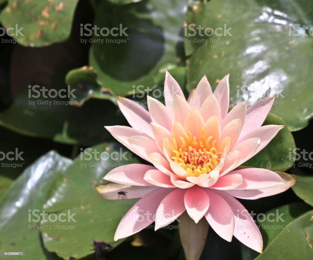 Fresh Lotus Flowers On A Swamp Water Stock Photo More Pictures Of