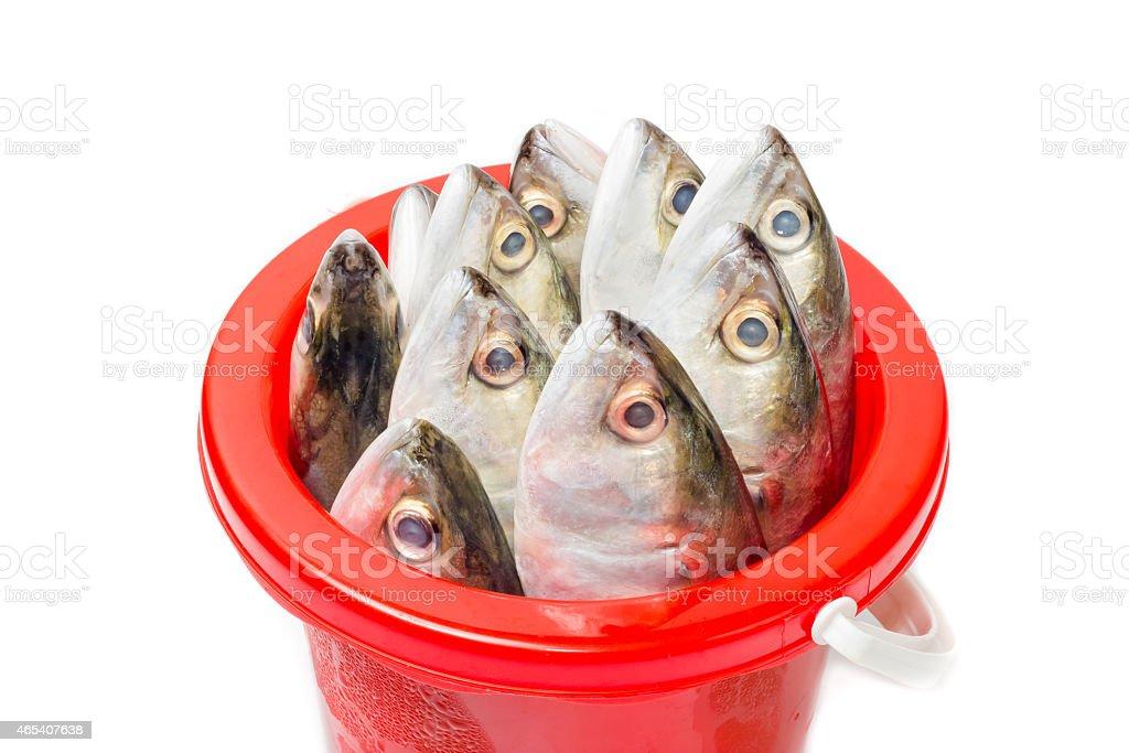Fresh mackerel fish in plastic bucket stock photo