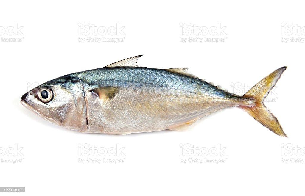 Fresh mackerel isolated on white background.Fresh mackerel fish stock photo