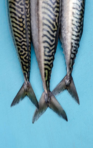Fresh mackerels closeup view stock photo