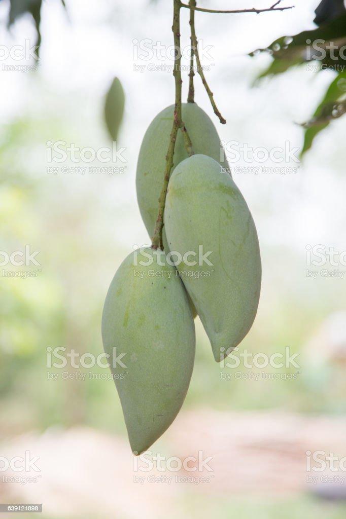 Fresh mangoes with mango leaves. stock photo