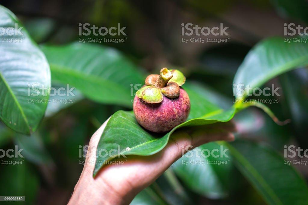 Färsk mangostan frukt, tropiska frukter med söta saftiga vitt segment av kött inuti en tjock lila skalet med mangostan kött, selektivt fokus, läcker frukt isolerade, närbild, natur bakgrund, mangostan. - Royaltyfri Asien Bildbanksbilder