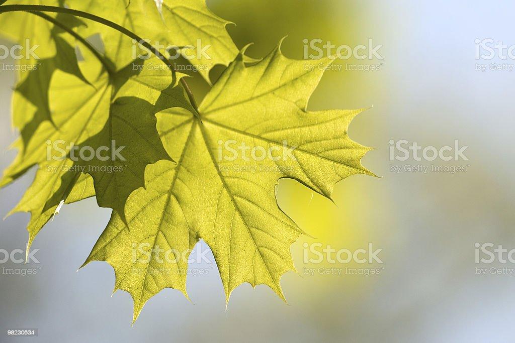 신선한 단풍 잎 royalty-free 스톡 사진