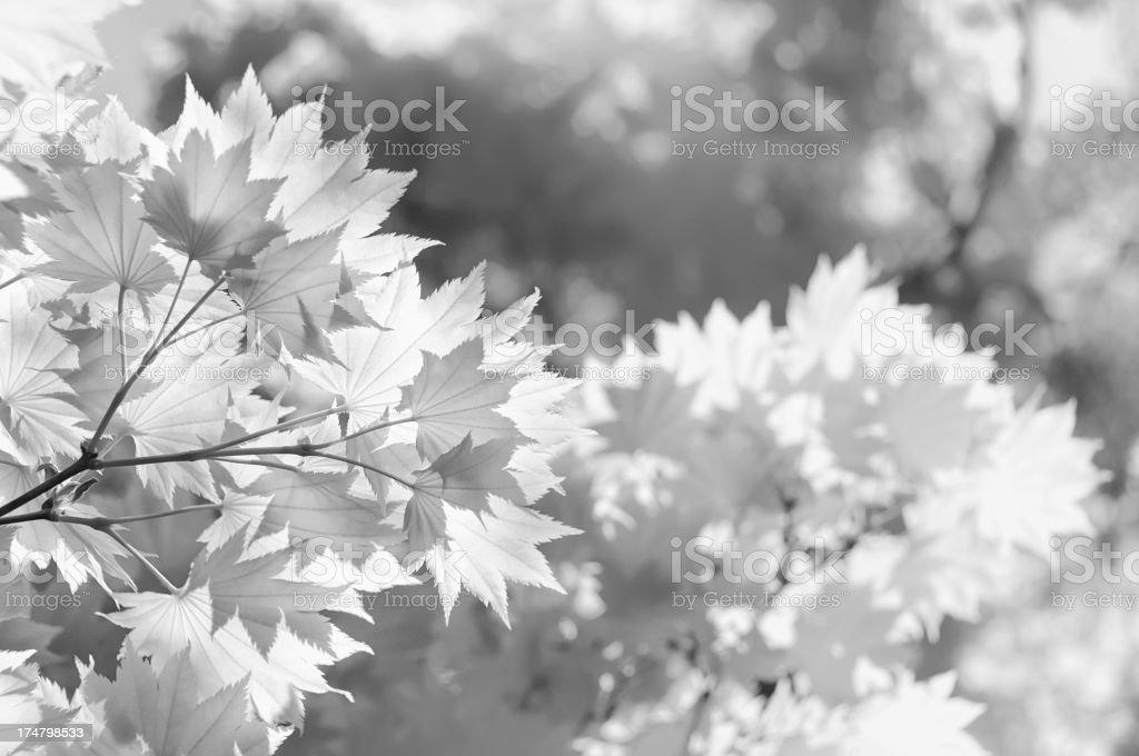 Fresh Maple royalty-free stock photo