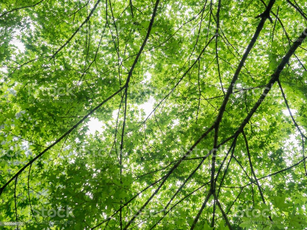 Fresh maple trees in rainwater stock photo