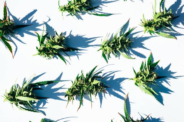 Frisches Marihuana (Cannabis) Knospen oder Blumen auf weißem Hintergrund. Flach liegen. – Foto