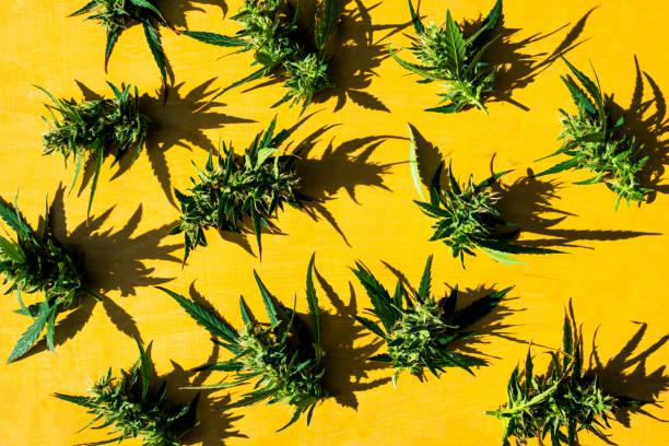 Frisches Marihuana (Cannabis) Knospen oder Blumen auf gelbem Hintergrund. Flach liegen. – Foto
