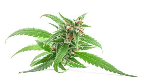 frisches medizinisches marihuana isoliert auf weißem hintergrund. therapeutisches und medizinisches cannabis - blütenstand stock-fotos und bilder