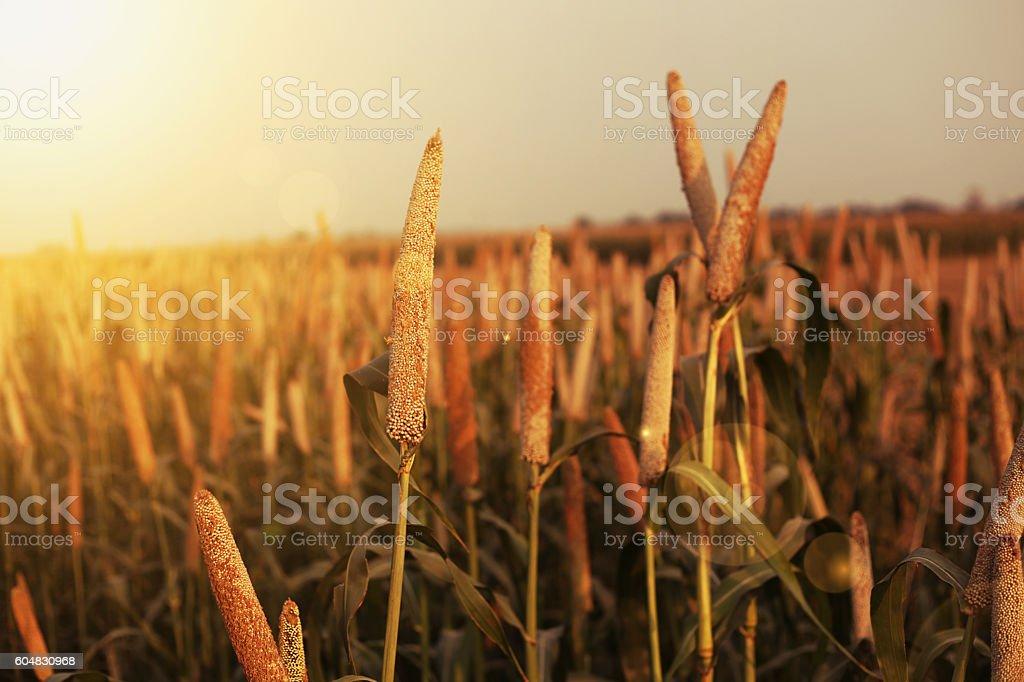 Fresh Millet Crop Landscape stock photo