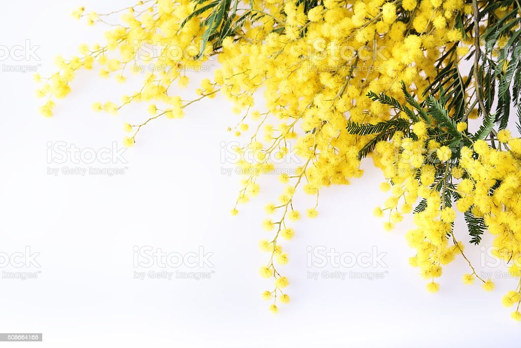 Fresh mimosa flower on white stock photo
