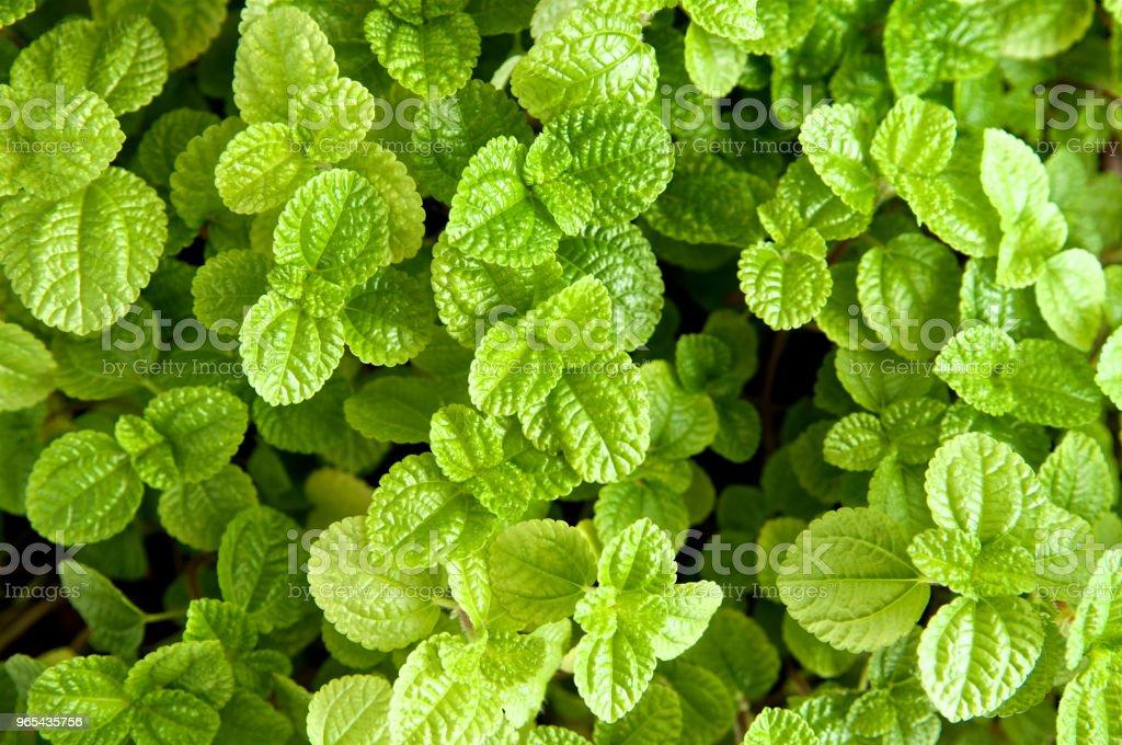 新鮮薄荷的背景。綠色薄荷花園。特寫 - 免版稅中國圖庫照片
