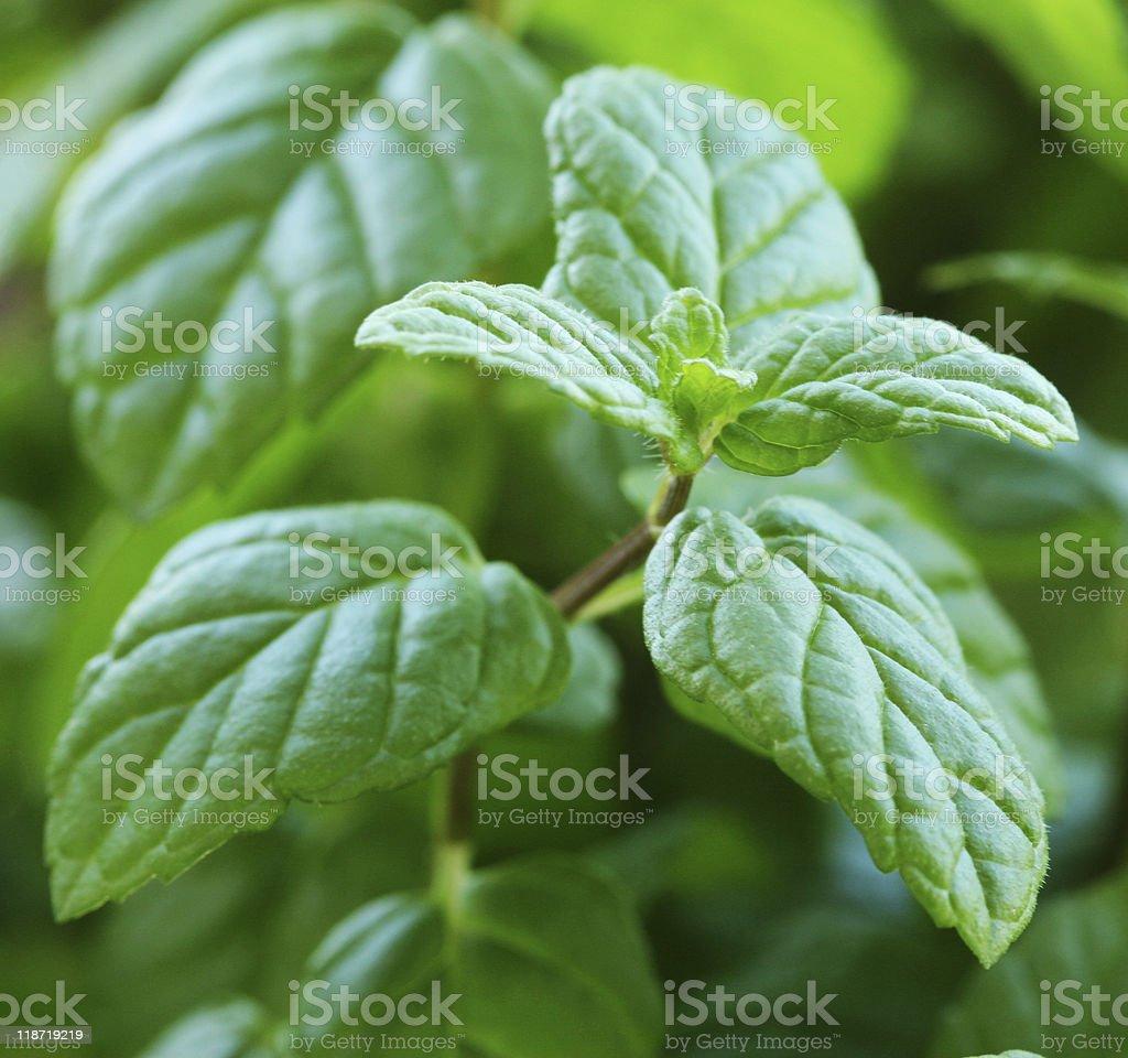 Fresh Mint Closeup royalty-free stock photo