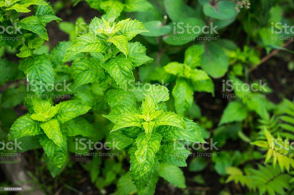 Fresh mint growing in the garden stock photo