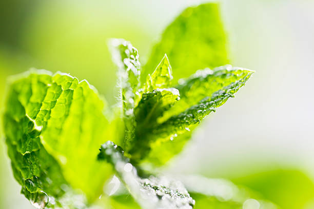fresh mint leaves drops of water stock photo