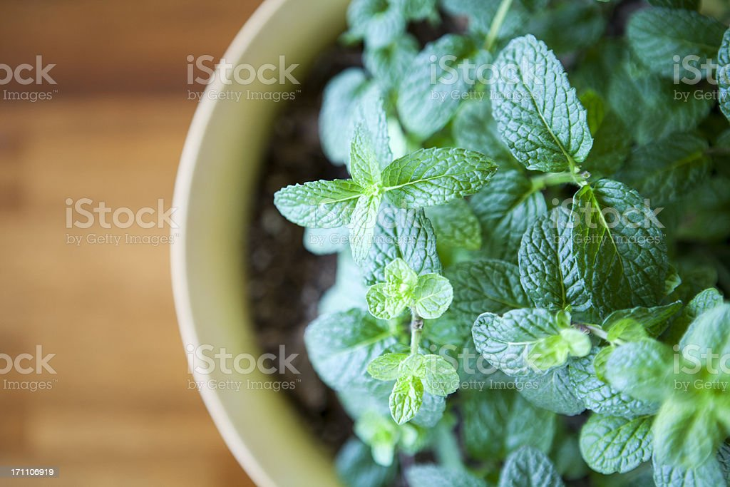 Fresh Mint Plant  Potted against a Natural Wood Table stock photo