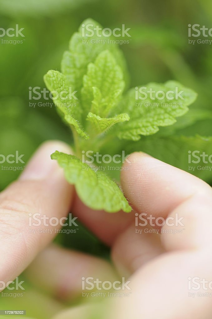 Fresh mint selected royalty-free stock photo