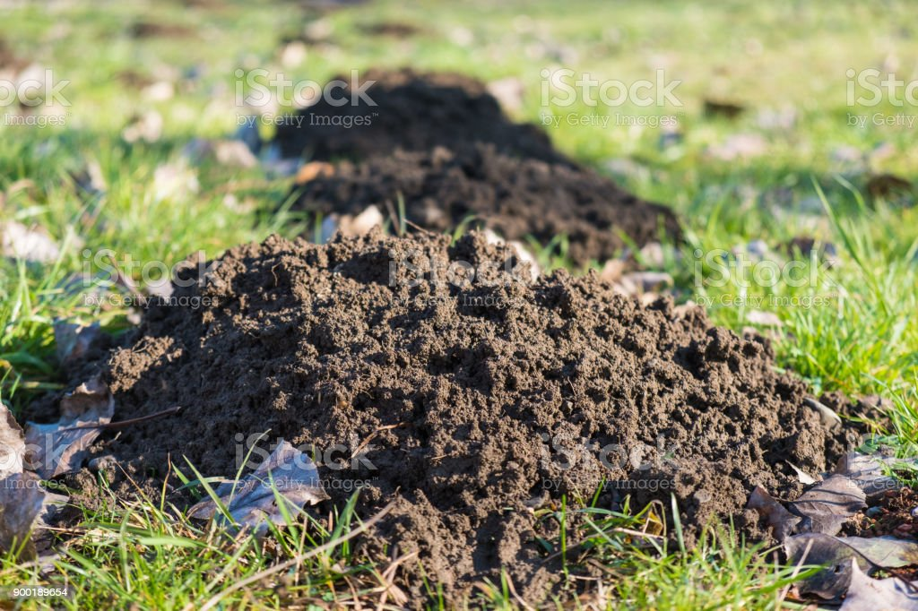 Fresh molehills on a lawn stock photo