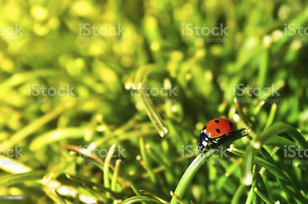 fresh morning dew and ladybug royalty-free stock photo