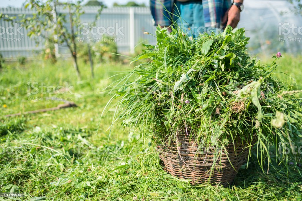 Fresh mowed grass are in a basket, scythe, mow grass with a hand tool, handmade, outdated method, countryside, Ukraine stock photo