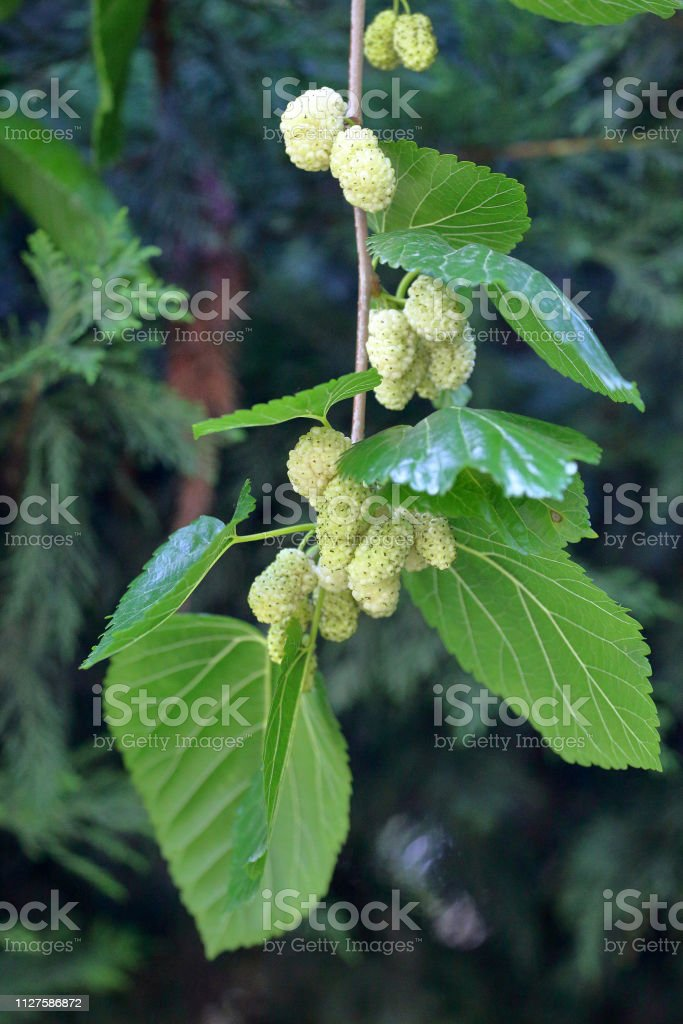 Fresh Mulberries on tree branches - fotografia de stock