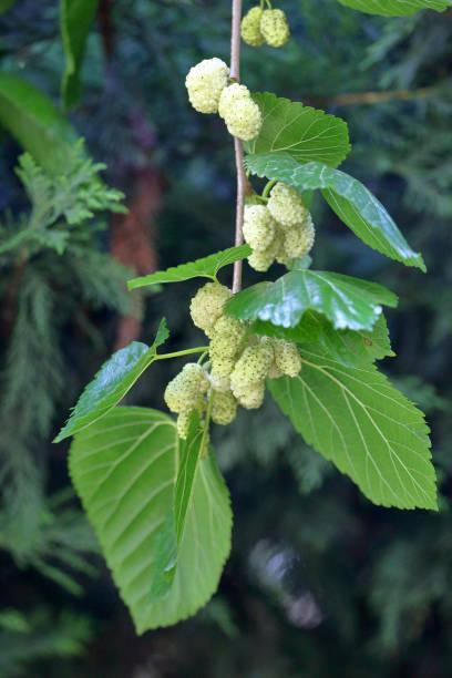 fresh mulberries on tree branches - amoreiras imagens e fotografias de stock
