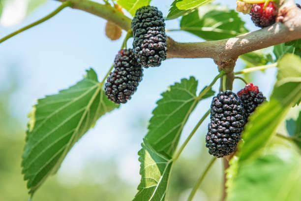 fresh mulberry, black ripe and red unripe mulberries - amoreiras imagens e fotografias de stock