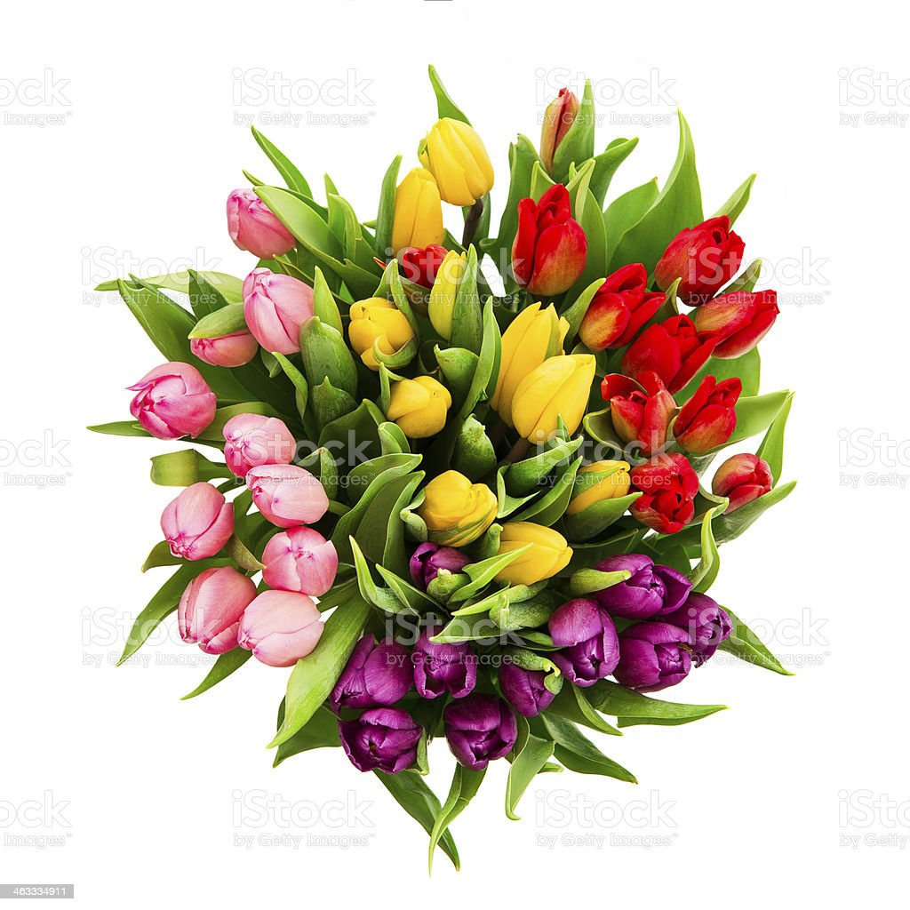 fresh multicolor tulip flowers isolated on white stock photo