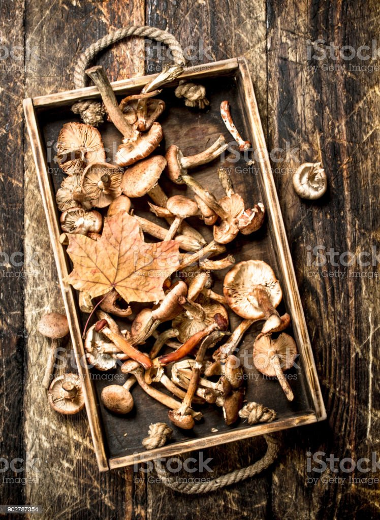 Fresh mushrooms honey agaric in an old box. stock photo