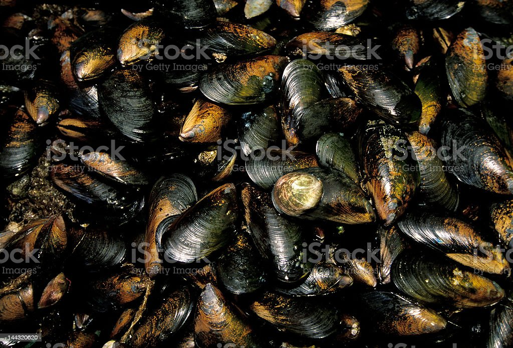 fresh mussels in Chile market stock photo