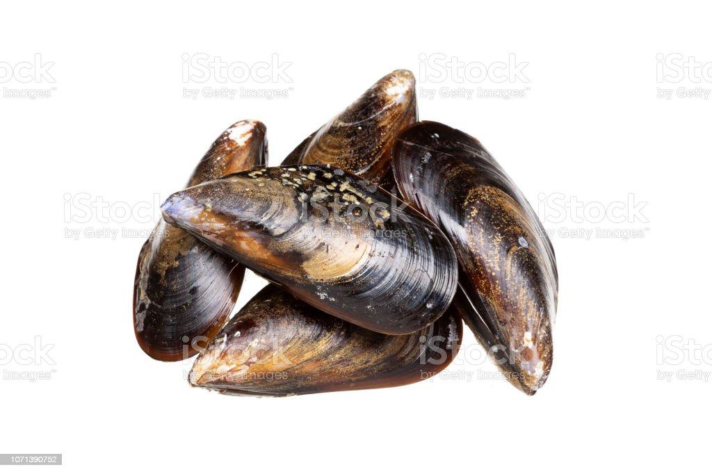 Fresh mussels isolated on white background. Mytilidae stock photo
