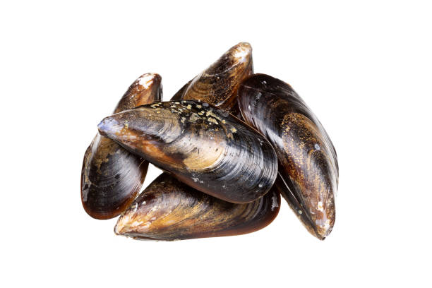 Fresh mussels isolated on white background. Mytilidae stock photo