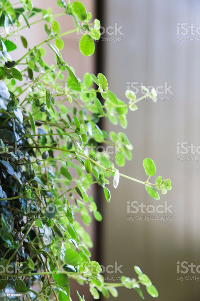 fresh natural curly flower with a green leaves stock photo