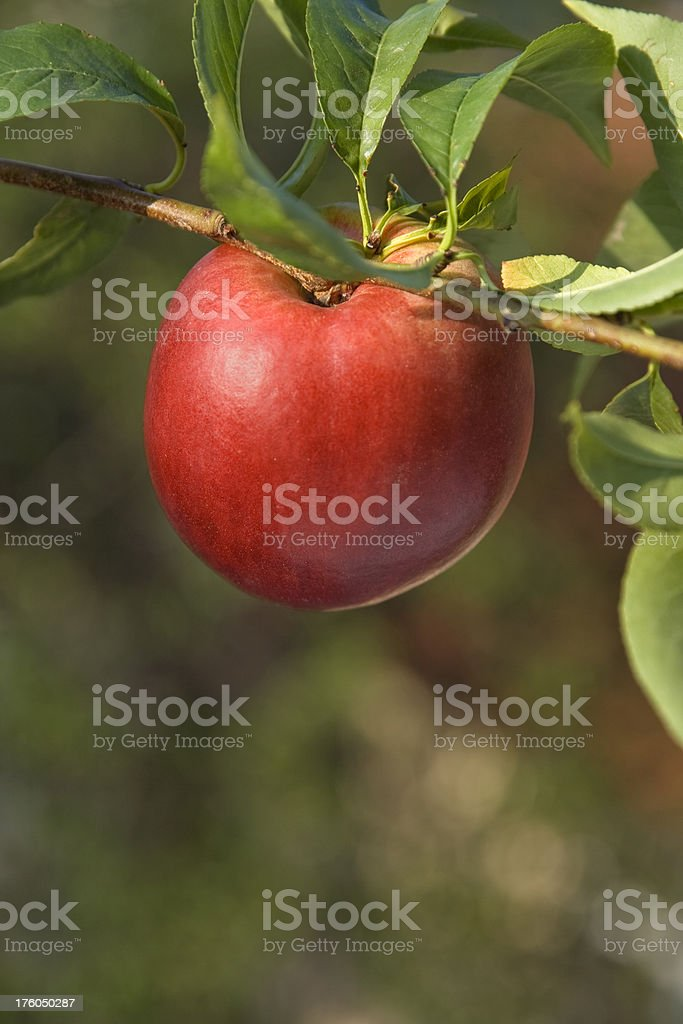 Fresh nectarine royalty-free stock photo