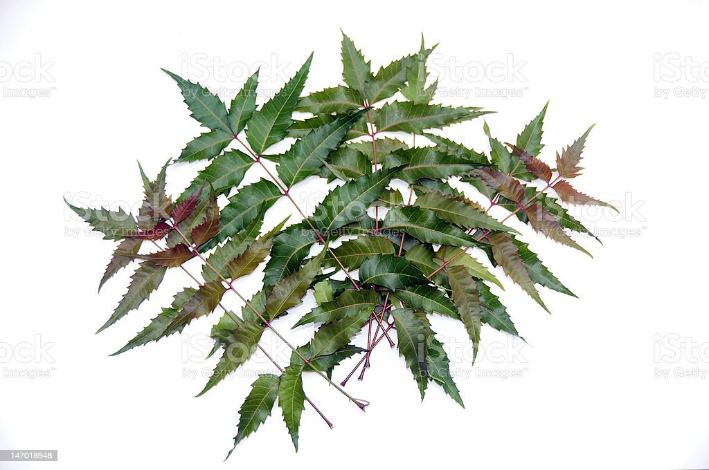 fresh neem leaves royalty-free stock photo