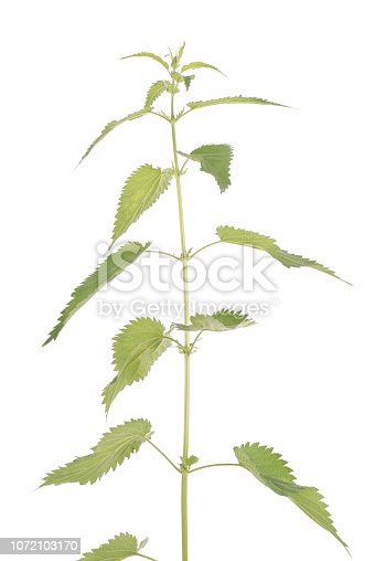 538450883istockphoto Fresh nettle. High nettle plant 1072103170