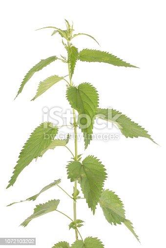 538450883istockphoto Fresh nettle. High nettle plant 1072103202