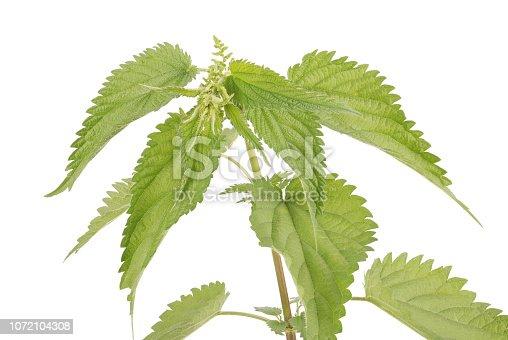 538450883istockphoto Fresh nettle. High nettle plant 1072104308