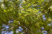 Fresh new acacia tree leaves in spring closeup against blue sky