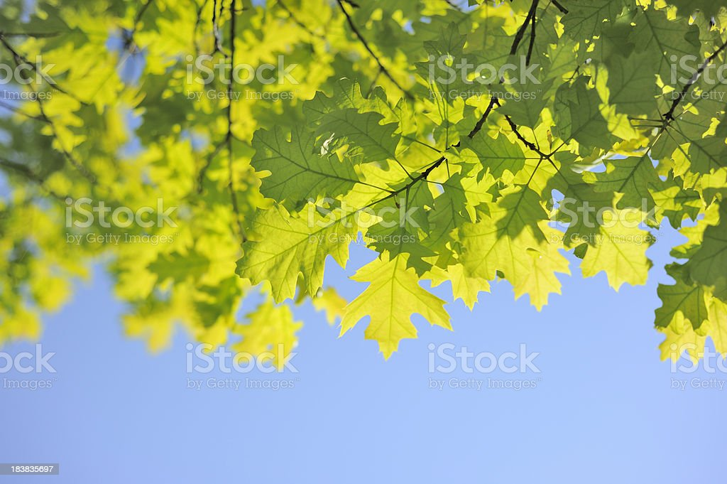 Fresh New Leaves and Blue Sky royalty-free stock photo