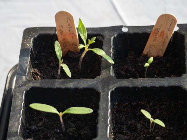 Fresh new tomato seedlings sprouting in a seed tray stock photo